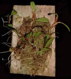 20171541  -  Dendrobium  brunneun  'Roy'  CBR/AOS  10-14-2017  (Charles  High)  plant