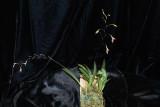 20171546 - Pabstiella arcuata 'Orkiddoc' CBR/AOS 12-9-17 (Larry Sexton) plant