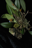 20182057  -  Pabstiella  aurantiaca  'Orkiddoc'  CBR/AOS  1-13-18  (Larry  Sexton)  plant