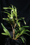 20182077  -  Camaridium  (Maxillaria)  carinulata  'Orkiddoc'  CBR/AOS  2-10-2018  (Larry  Sexton)  plant