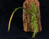 20182065  -  Oberonia  lycopodiodes  'Morrison's  Mischief'  CBR/AOS  1-27-18  (William  Morrison)  plant