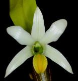 20182092  -  Dendrobium  scabrilinge  'Biju'  HCC/AOS  (78  points)  3-10-18  (Steve  Gonzalez)  flower