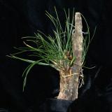20182121 - Maxillaria nardoides 'Orkkidoc' CBR/AOS 7-14-2018 (Larry Sexton)  plant
