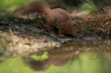 D4S_0469F rode eekhoorn (Sciurus vulgaris, Red squirrel).jpg