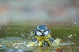 D4S_5478F pimpelmees (Parus caeruleus, Blue Tit).jpg