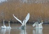 300_4454F wilde zwaan (Cygnus cygnus, Whooper swan).jpg