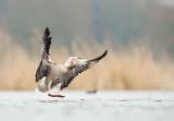 D4S_1697F grauwe gans (Anser anser, Greylag Goose).jpg