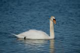 D4S_8267F knobbelzwaan (Cygnus olor, Mute Swan).jpg