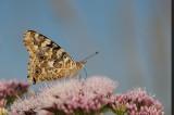 Vlinders en rupsen/Butterflies and caterpillars