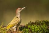 D4S_5313F groene specht (Picus viridis, Green Woodpecker) juv..jpg