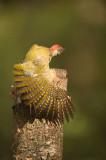 D4S_5369F groene specht (Picus viridis, Green Woodpecker) juv..jpg