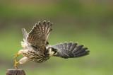 D4S_7110F boomvalk (Falco subbuteo, Eurasian Hobby).jpg