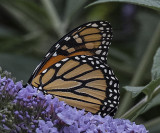 A visit from a pair of Monarchs, no, not Kate and Will