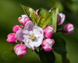 Apple blossom from our garden