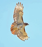 The Shy Red-Tail