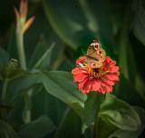 Common Buckeye Butterfly