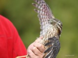 9-16-2017 Banded Sharp-shinned Hawk ready for release