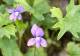 Early Blue Violet Viola palmata