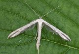 Morning-glory Plume Moth Emmelina monodactyla #6234