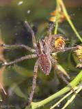 Wolf Spider Hogna helluo