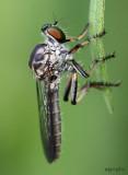 Ommatius sp. female