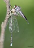 Robber Fly Neoitamus flavofemoratus