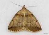 Variable Zanclognatha Moth Zanclognatha laevigata #8345
