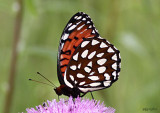 Regal Fritillary - female