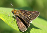 Two-spotted Skipper - female