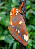 Regal Moth Citheronia regalis #7706