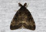 Gypsy Moth Lymantria dispar #8318