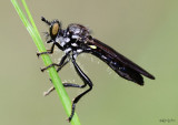 Robber Fly Eudioctria sp.