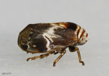 Alder Spittlebug - Clastoptera obtusa