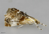Julia's Dicymolomia Moth Dicymolomia julianalis #4889