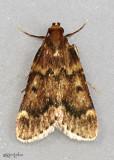Pink-masked Pyralid Moth Aglossa disciferalis #5512