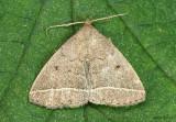 Wavy-lined Zanclognatha Moth Zanclognatha jacchusalis #8353