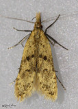 Many-spotted Dichomeris Moth Dichomeris punctipennella #2288