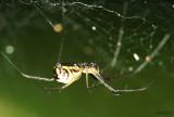 Filmy Dome Spider Neriene radiata