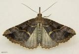 Large Bomolocha Moth Hypena edictalis #8452