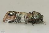 Unicorn Caterpillar Moth Schizura unicornis #8007