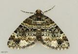 Square-patched Carpet Moth Perizoma basaliata #7316