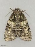 Southern Oak Dagger Moth Acronicta increta #9249