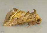Dark-spotted Looper Moth Diachrysia aereoides #8896