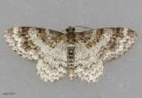 Unadorned Carpet Moth Hydrelia inornata #7422