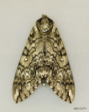 moths 5 Giant Silk 7182 - 8032