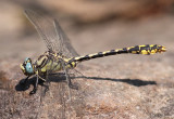 Great Basin Snaketail Opiogomphus morrisoni