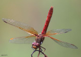 Cardinal Meadowhawk Sympetrum illotum