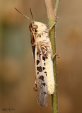 Clear-winged Grasshopper Camnula pellucida