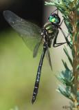 corduliidae : emeralds