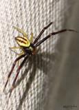 Goldenrod Crab Spider Misumena vatia